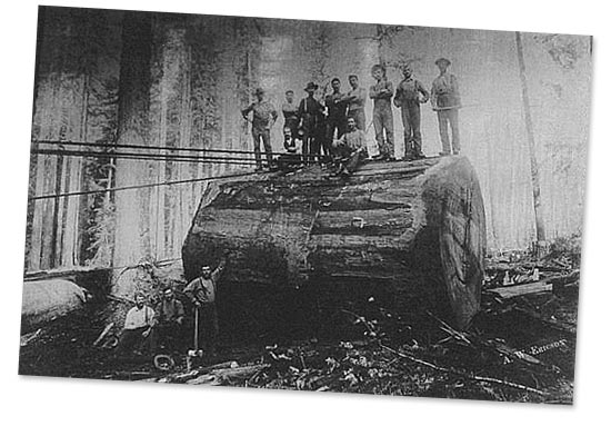 Old logging photo showing a very large log with a group of men standing on top while three sit beside it